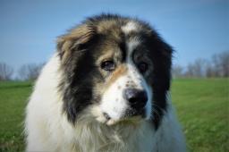 ARON - Kavkazský pastevecký pes - 3 roky