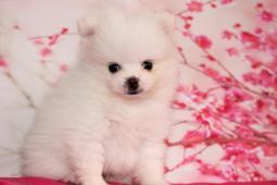 Pomeranian štěňátka s pp- vzácné bílé zbarvení
