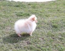 Pomeranian.  prodám fenečku s PP
