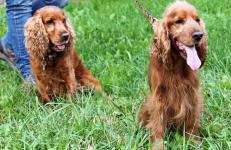NASTY - Kokršpaněl - kastrovaný pes, 8 let.