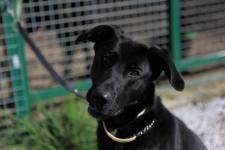 BASTIEN - Labrador x Ovčák - kastrovaný 2 roky