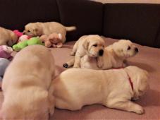 Labrador retriever s PP svetlé a čokoládové štenia
