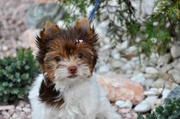 biro jorkšírský terrier
