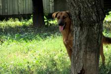PEDRO - Ovčák x - pes mladý