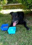 RUFUS - Labradorský retrívr x kříženec - 10 let