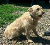 DERYK - Teriér x kříženec - pes 1-2 roky.