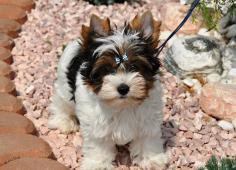 biewer jorkšírský terrier