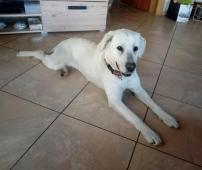 Pixie k adopci (4 roky, 35 kilo)