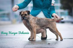otec štěňat  -Rony Korym Bohemia
