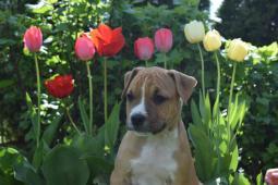 americky stafordsirsky terier , šteniatka s PP