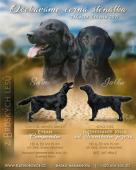 Štěňata Flat Coated Retrievera s PP