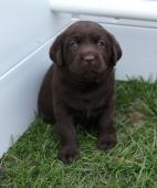 Labrador retriever s PP čokoládové šteniatka