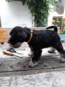 Prodám štěnátka knírač malý černostřibřitý