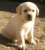 Labradorský retriever s PP světlá štěňátka