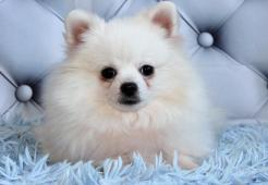 Pomeranian pejsek s pp - levněji