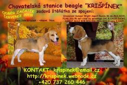 beagle štěňata