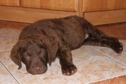 Chesapeake bay retriver s PP fenky