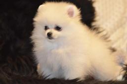 Pomeranian štěňátka s PP (FCI)