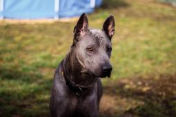 Arlow - Thajský ridgeback - pes 1 rok.