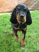 Gordonsetr – štěňata 1 pes a 1 fena