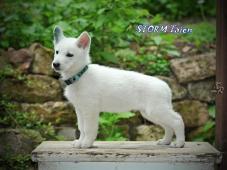 Bílý švýcarský ovčák - štěně s pp