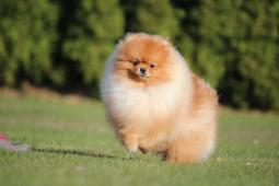 Pomeranian, prodám pejska s PP