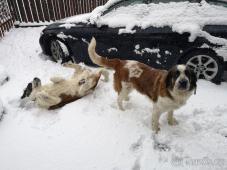 Moskevský strážní pes - daruji 2 fenky