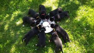 Velký švýcarský salašnický pes - štěňátka s PP