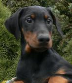 Dobrman - štěně