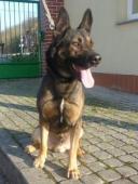 Pejsek 1251/2018 - Německý ovčák - pes