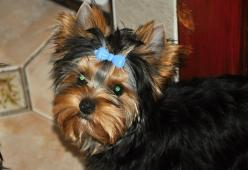 jorkšírský terrier