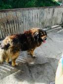 Daruji kavkazského pasteveckého psa