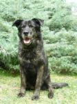 BARON - Německý ovčák x kříženec - pes, 10 let.