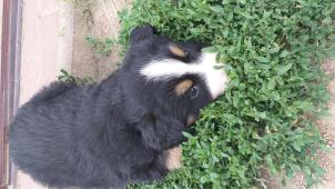 Štěňata Bernského salašnického psa bez PP