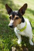Jack Russell teriér - EDDIE, pes stáři 3 roky