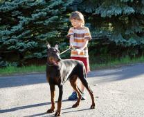 Dobrman štěně Dean HP s rodokmenem z CHS HP prodám