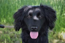 ZIPÍK - Jezevčík x - štěně pes