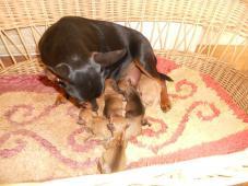 Trpasličí pinč-štěně na prázdniny