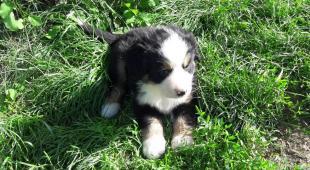 Štěňata Bernského salašnického psa k odběru ihned