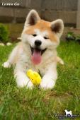 Akita inu krásná štěňátka