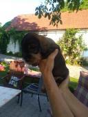Prodám štěně pejska jezevčíka drsnosrstého s PP