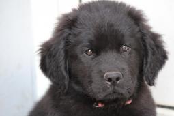 Novofundlandský pes- štěně