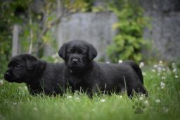 Labrador retriever s PP, černý a hnědý pejsek