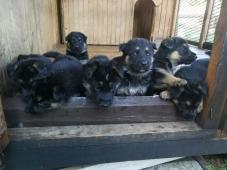 Nemecký ovčiak - čistokrvné šteniatka