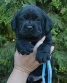 černá štěňátka labradorského retrievera s pp