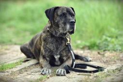 BARON - Kanárská doga s PP - kastrovaný pes 11 let