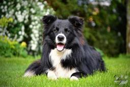 Krytí psem border collie