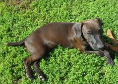 Patterdale teriér - štěně