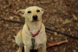 DUHENKA - Kříženec menší - štěně fena