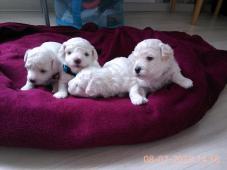 Boloňský psík bílý